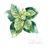 Watercolor mint. Royalty Free Stock Photos