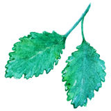 Watercolor mint peppermint spearmint leaf isolated vector.  Stock Photo