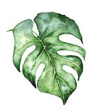 Watercolor monstera leaf. Tropical plant illustration royalty free stock photography