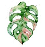 Watercolor monstera leaf. Tropical plant illustration stock photography