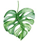 Watercolor monstera leaf. Tropical plant illustration stock images