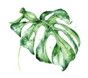 Watercolor monstera leaf. Tropical plant illustration royalty free stock image