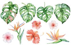 Watercolor monstera leaves set. Tropical plant illustration stock images