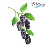 Watercolor mulberry Royalty Free Stock Photo