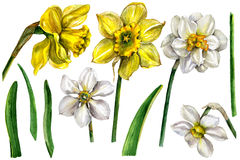Watercolor Narcissus Flower Elements  on white. Royalty Free Stock Photo