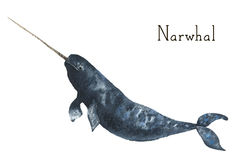 Watercolor narwhal. Whale illustration isolated on white background. For design, prints or background Royalty Free Stock Image