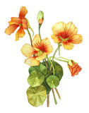 Watercolor with nasturtium. On white Royalty Free Stock Photos