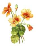 Watercolor with nasturtium Royalty Free Stock Photos