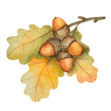 Watercolor oak branch with acorns Stock Images