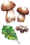 Watercolor oak green leaf acorn white mushrooms porcini set.  Stock Photos