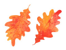 Watercolor oak leaves Stock Images