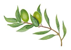 Watercolor olive branch with the green berries. White background. Isolated and isolation vector illustration