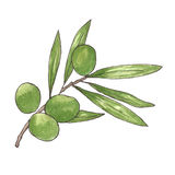 Watercolor olive branch on white background. Hand drawn and isolated natural object. vector illustration