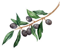 Watercolor olive oliva branch with olives isolated vector royalty free illustration