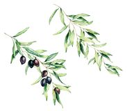 Watercolor olive tree branch set with black olives and leaves. Hand painted floral illustration isolated on white. Background for design, print, fabric or stock illustration