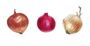 Watercolor onion illustration Stock Image