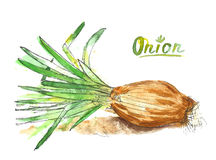 Watercolor onion Royalty Free Stock Photography