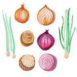 Watercolor onion, red and green Royalty Free Stock Images