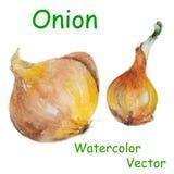 Watercolor onion Stock Photo