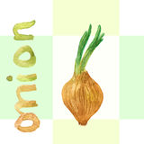 Watercolor onion. Vector onion. Hand drawn watercolor painting vegetable. Ingredients for soup. Vector illustration. Watercolor onion. Vector onion. Hand drawn Royalty Free Stock Photo