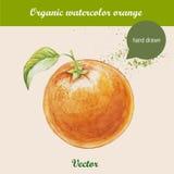 Watercolor orange. Hand drawn illustration on white background. Stock Photos