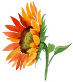 Watercolor orange sunflower flower. Floral botanical flower. Isolated illustration element. Aquarelle wildflower for background, texture, wrapper pattern royalty free stock photos