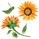 Watercolor orange sunflower flower. Floral botanical flower. Isolated illustration element. Aquarelle wildflower for background, texture, wrapper pattern royalty free stock image