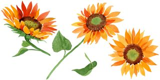 Watercolor orange sunflower flower. Floral botanical flower. Isolated illustration element. Aquarelle wildflower for background, texture, wrapper pattern stock photos