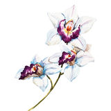 Watercolor orchid flowers Stock Photography