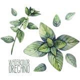 Watercolor oregano set Royalty Free Stock Images