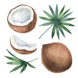Watercolor organic set of coconut and palm trees isolated on white background. Royalty Free Stock Image