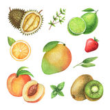 Watercolor organic set of fruits and herbs isolated on white background. Stock Images
