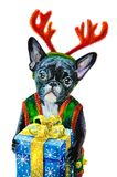 Watercolor painted christmas dog. Christmas French Bulldog in chrismas wear holding gift box Stock Photos