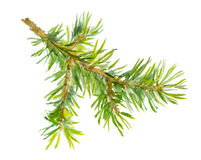 Watercolor painted fir tree branch. One isolated, handmade Stock Photography