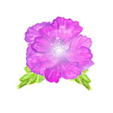 Watercolor painted    hibiscus. Tropical Flower. Violet  flower. Stock Photography