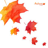 Watercolor painted orange maple leaves fall Royalty Free Stock Photos