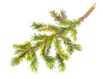 Watercolor painted pine branch Stock Photo