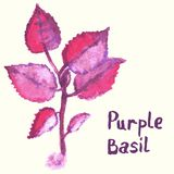 Watercolor painted purple basil plant. Royalty Free Stock Photography