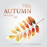 Watercolor painted vector leaf of a mountain ash Royalty Free Stock Photo