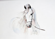Watercolor painting of andalusian horse portrait. The watercolor painting of andalusian horse portrait Stock Photo