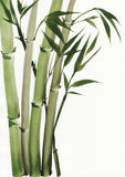 Watercolor painting of bamboo Stock Image
