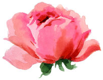 Watercolor painting of beautiful single rose Royalty Free Stock Images
