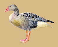 Watercolor painting of bird, goose Royalty Free Stock Photography