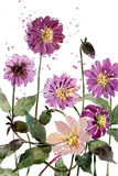 Watercolor painting bouquets Flower Dahlia purple Royalty Free Stock Photography