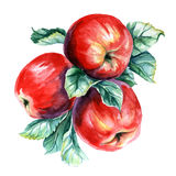 Watercolor painting of branch with apples. On white background Stock Photography