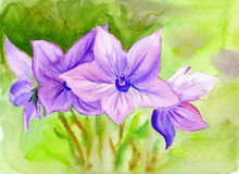 Watercolor painting Campanula, flowers Stock Image