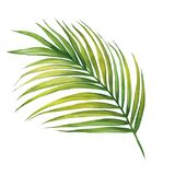Watercolor painting coconut,palm leaf,green leaves isolated on white background.Watercolor hand painted illustration tropical