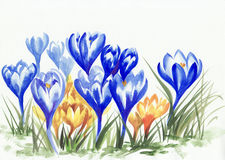 Watercolor painting of crocus flowers Stock Photography