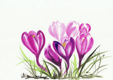 Watercolor painting of crocus flowers Stock Image