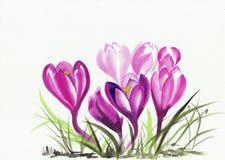 Watercolor painting of crocus flowers Stock Image